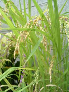 樽で育てた米