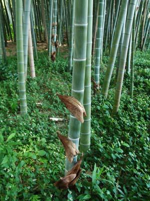勝光院の竹林