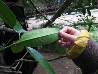 タラヨウの葉