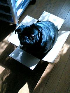 パグ犬mimi