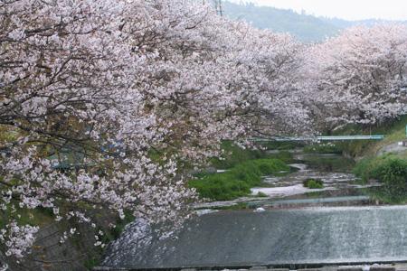 2007桜土手