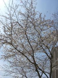 会社の桜です