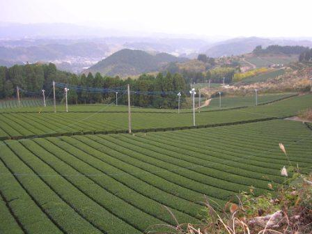 茶園(生駒野の上) H20.11.27 05_web