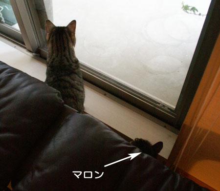 となりの柴犬さん!1