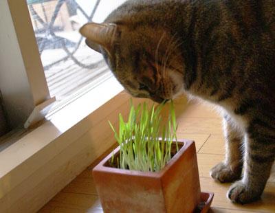 マロンと猫草1