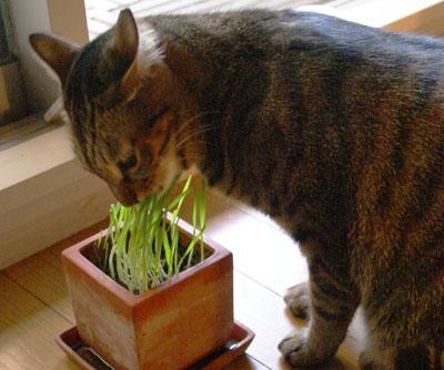 マロンと猫草2