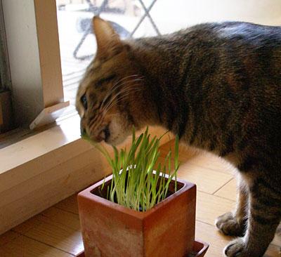 マロンと猫草3