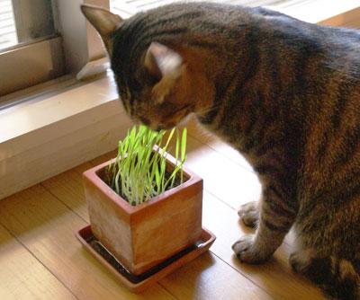 マロンと猫草4