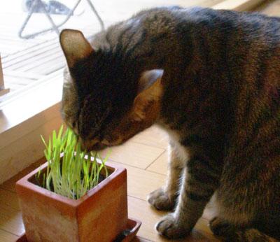 マロンと猫草6