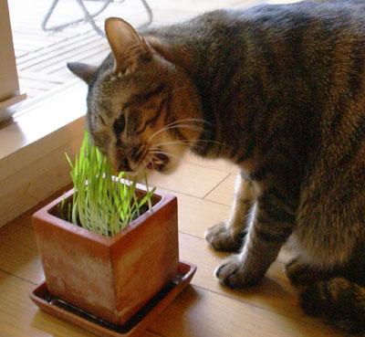 マロンと猫草7