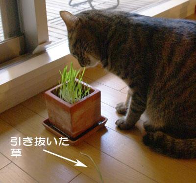 マロンと猫草8