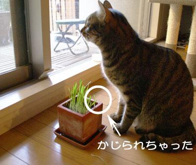 マロンと猫草9