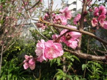 桜咲く01