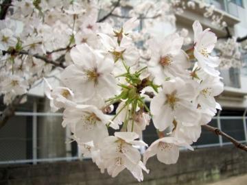 桜咲く02