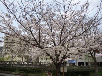 桜咲く03