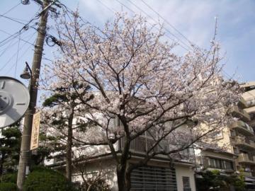 桜咲く04