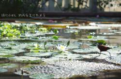 水上を歩く鳥