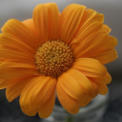 orange gerbera3