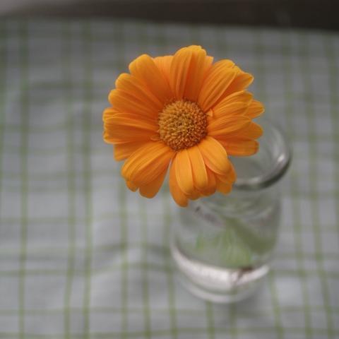 orange gerbera2