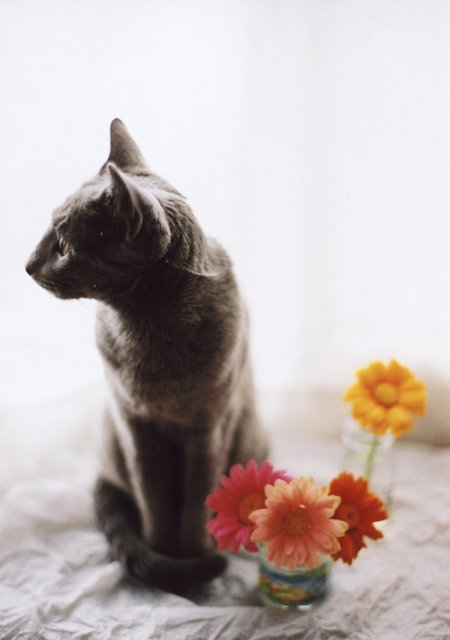 cat and gerbera1