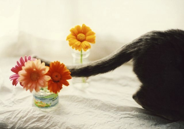 cat and gerbera3