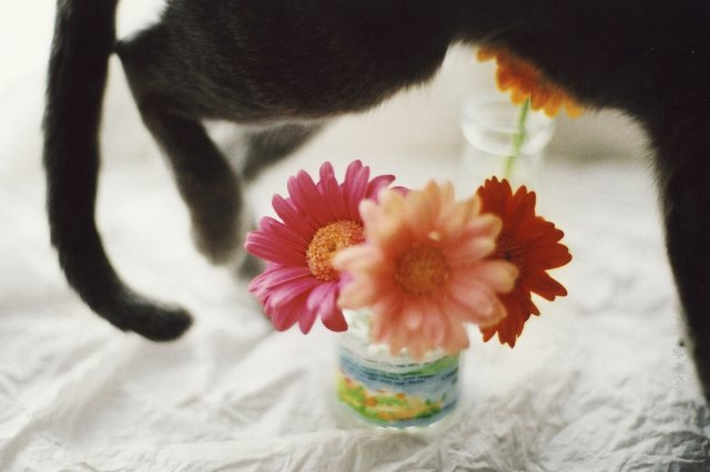 cat and gerbera2