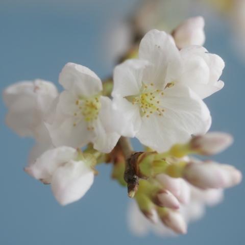 sakura and gerbera11