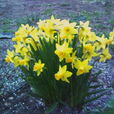 yellow narcissus1