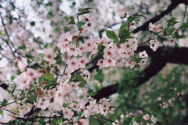 sakura at sapporo shiryokan2