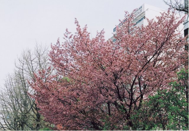 sakura at odorikoen1