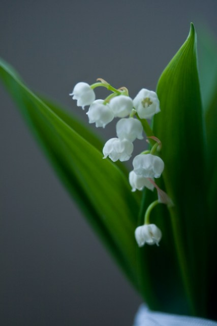 a lily of the valley