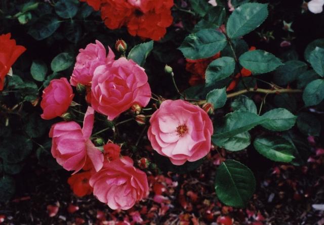 pink rose 7