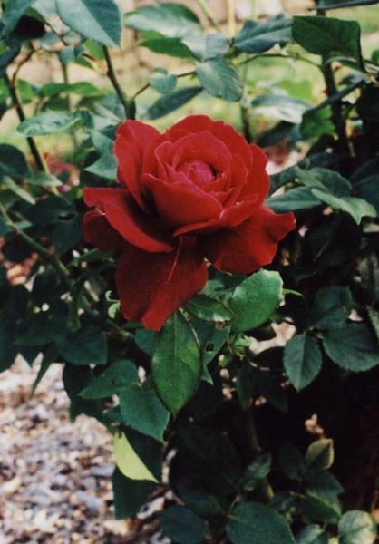 red rose7
