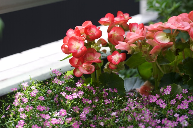 begonia and baby's breath