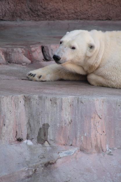 white bear1