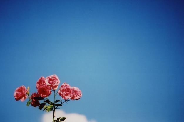 autumn rose2