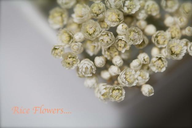 rice flowers2