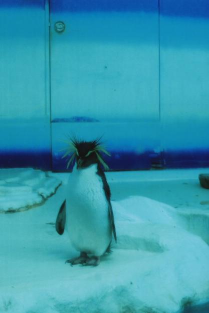 iwatobi penguin1