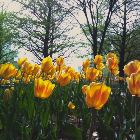 yellow tulip by minidigi2