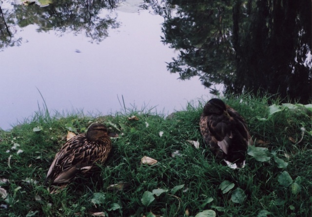 ducks at Hokudai1