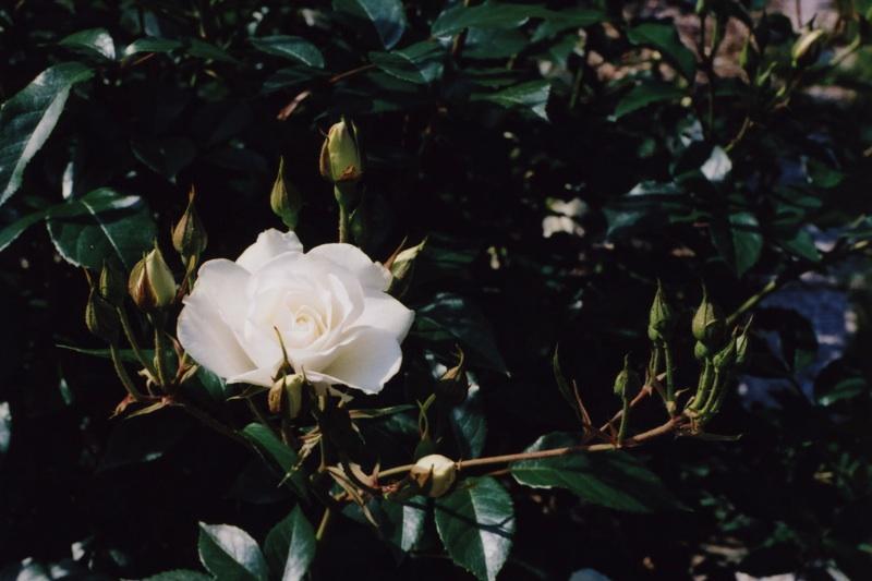 roses at odori park0