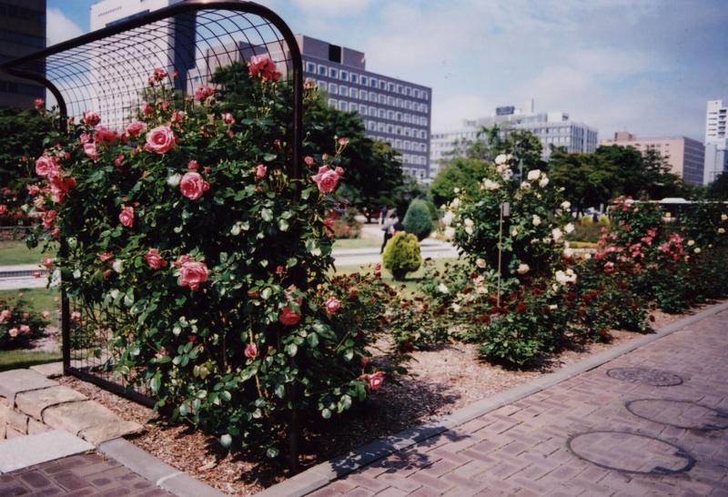roses at odori park1