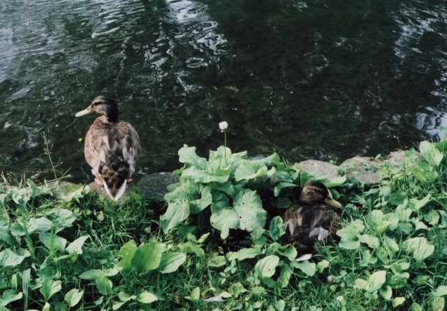 ducks at Hokudai2