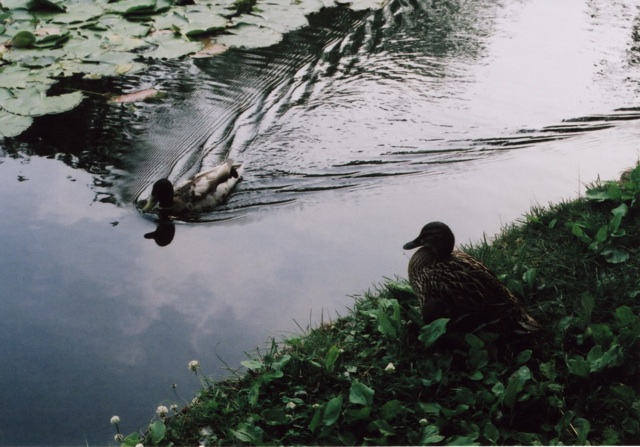 ducks at Hokudai3