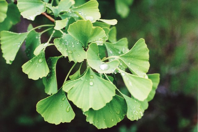ginkgo with dewdrops