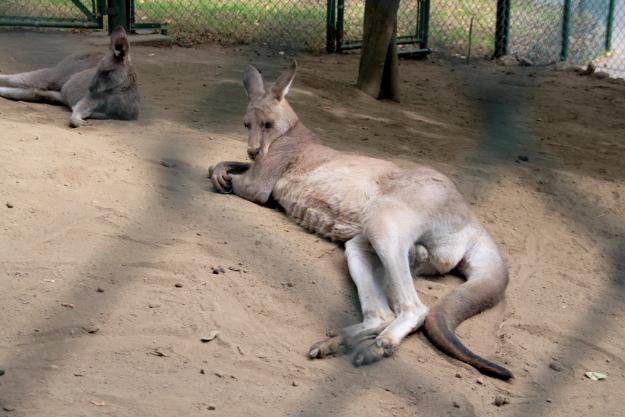 kangaloo