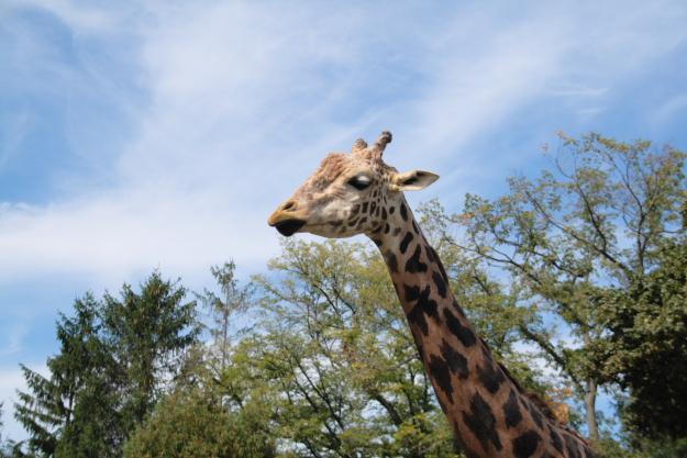 giraffe1