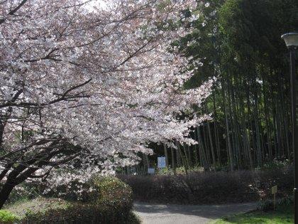 7分咲きくらいの桜でつ