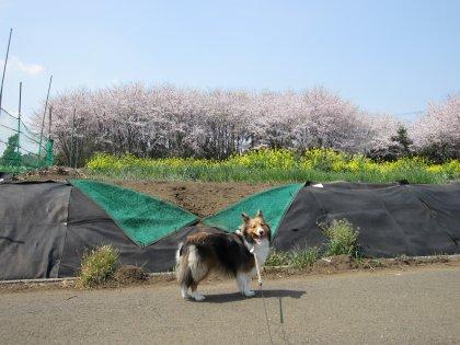 いつもの農道の満開の桜