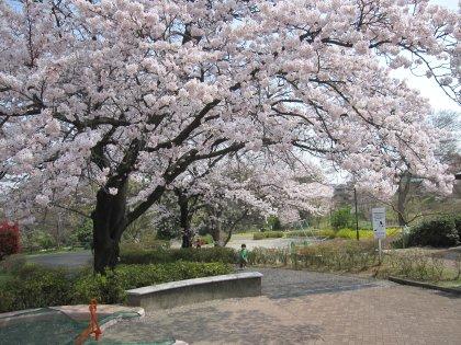 いつもの公園の満開の桜